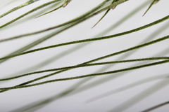 Green wheat ear close-up with setas. As a cause of disease, cereal fistulas in farm animals. Green wheat ear close-up with setas. As a cause of disease, cereal Stock Photo