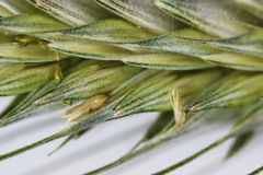 Green wheat ear close-up with setas on a white background.  Stock Photos
