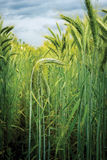 Green Wheat Stock Photo