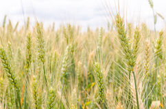 Green wheat ear. Green and yellow background Stock Photos
