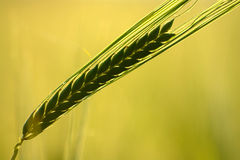 Green Wheat Ear Silhouette. Silhouette of green wheat ear turning gold with shallow depth of field on yellow background Royalty Free Stock Image