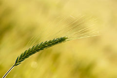 Green Wheat Ear. Turning gold with shallow depth of field on yellow background Royalty Free Stock Photos