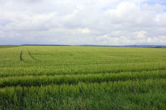 Green wheat eara and the sky Royalty Free Stock Photography