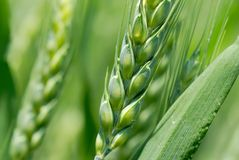 Green wheat ears. Closeup of Green wheat ears Royalty Free Stock Photography