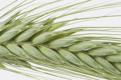 Green wheat ears Stock Photography