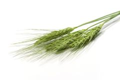 Green wheat ears. Isolated on white Royalty Free Stock Image