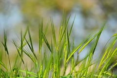 Green wheat ears Royalty Free Stock Image