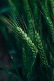 Green wheat ears Stock Photo