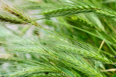 Green wheat ears closeup Royalty Free Stock Photos