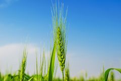 Green wheat ears in a farm royalty free stock photo