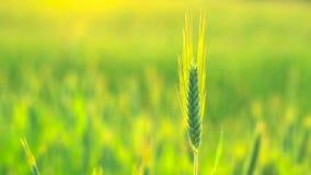 Green Wheat Ears Field Blowing In Wind. Wheat Field, Fresh Crop Of Wheat Ears stock video footage