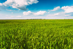 Green Wheat Ears Field, Blue Sky Background Stock Photography