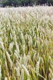 Green wheat Stock Photography