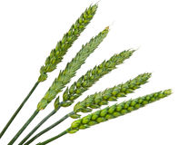 Green wheat ears isolated Stock Photo