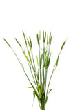 Green wheat ears isolated Royalty Free Stock Photography