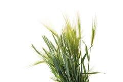 Green wheat ears isolated Stock Photos
