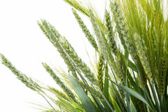 Green wheat ears isolated Royalty Free Stock Photo