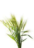 Green wheat ears isolated Stock Image