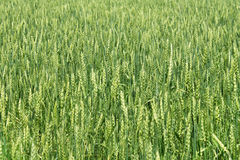 Green wheat ears Stock Images