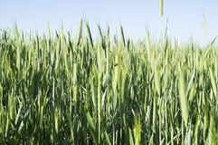 Green wheat ears Royalty Free Stock Images