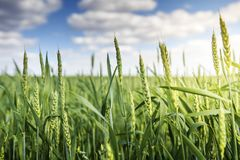 Green wheat ears ripen against blue sky with white clouds in the early summer morning. Background of wheat. Rural landscape of wheat green field Stock Image