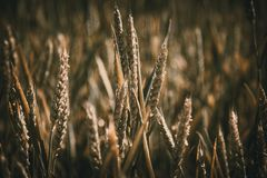 Green wheat ears on the sunny field. Summer yield with wheat ears and rye Royalty Free Stock Images