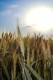 Green wheat ears at sunset Stock Photography