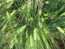 Green wheat ears,top view Royalty Free Stock Image
