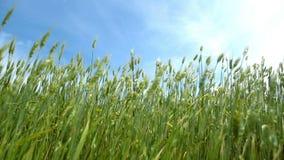 Green wheat stock footage