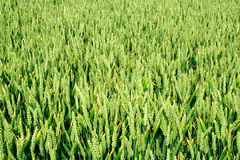 Green wheat field. Background Royalty Free Stock Photos