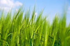 Green wheat field. Closeup of green wheat field growing in summertime Stock Photo