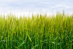 Green wheat field. Under blue sky royalty free stock images