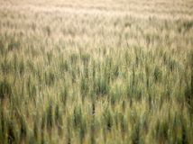 Green wheat field Stock Image