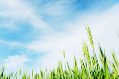 Green Wheat Field. Green wheat wield with cloudy blue sky Stock Photos