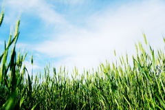 Green Wheat Field. Green wheat wield with cloudy blue sky Stock Image