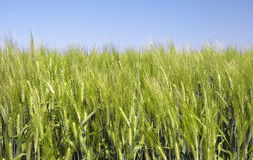 Green Wheat Field. With a blue sky background royalty free stock photography