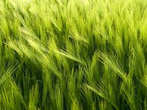 Green wheat field. Royalty Free Stock Photography