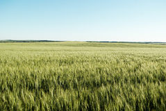 Green wheat  field. Immature wheat  field  on  a background of blue sky Stock Photo