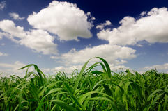 Green Wheat Field. A beautiful green wheat field under a blue cloudy sky Stock Image