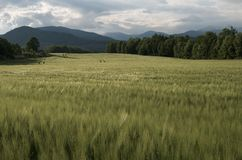 Green Wheat Field. In the early summer afternoon Stock Images