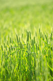 Green wheat field. Blue flower in a green wheat facing the summer sun Royalty Free Stock Photos