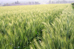 Green wheat field. Morning in a green wheat field royalty free stock photos