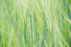 Green wheat field. Close up green wheat field background Royalty Free Stock Photos