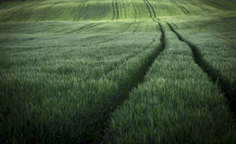 Free Green Wheat Field Stock Photos - 40499013
