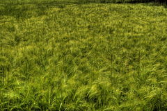 Green wheat field Royalty Free Stock Image