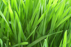 Green wheat in the field. Royalty Free Stock Photography