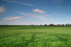 Green Wheat Field. Large green, young wheat field with blue sky and fluffy clouds. Suffolk UK Royalty Free Stock Images