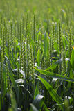 Green wheat field, abstract nature background with copy space, v Royalty Free Stock Photo