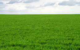 Green wheat field against the sky Royalty Free Stock Image