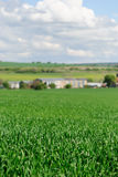 Green wheat field with agricultural buildings in the background Royalty Free Stock Photography